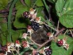 Rubus fruticosus (Brombeere) / Rosaceae