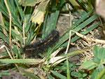 Spilosoma lubricipeda (Weisse Tigermotte) / CH UR Klausenpass 2037 m, 22. 10. 2013