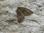 Hydriomena impluviata (Erlenhain-Blattspanner) / CH VS Grimsel Hospiz 1980 m, 15. 09. 2013