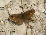 Lasiommata maera (Braunauge, Männchen) / CH FR Gros Mont Brenleire 1450 m, 26. 06. 2014