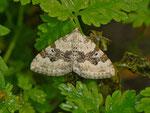 Xanthorhoe montanata (Schwarzbraunbinden-Blattspanner) / CH BE Hasliberg 1240 m  28. 06. 2013