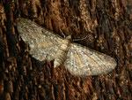 Eupithecia icterata / CH BE Hasliberg 1300 m, 21. 06. 2016 (an Rhinanthus alectorolophus gefunden)