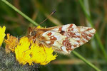 Boloria napaea (Ähnlicher Perlmuttfalter, Weibchen) / CH Grand St-Bernardpass 2500 m, 30. 07. 2006