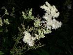 Filipendula ulmaria (Mädesüss) / Rosaceae