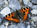 Aglais urticae (Kleiner Fuchs) / CH BE Hohgant Naturschutzgebiet 1650 m, 30. 07. 2012