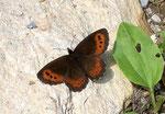 Erebia ligea (Weissbindiger Mohrenfalter, Männchen) / CH BE Hasliberg 1200 m, 09. 07. 2006