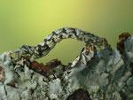 Deileptenia ribeata (Moosgrüner Rindenspanner, Zuchtraupe) CH BE Hasliber 1060 m, 14. 06. 2017