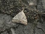 Evergestis sophialis / CH BE Hasliberg 1150 m,  27. 06. 2014
