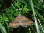 Scotopteryx chenopodiata (Braungebänderter Linienspanner) / CH OW Engelberg 1083 m, 31. 07. 2013