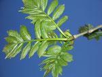 Fraxinus (Esche) / Oleaceae