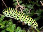 Papilio machaon (Schwalbenschwanz, Raupe auf Seseli libanotis, Hirschheil-Bergfenchel) / CH BE Hasliberg 1200 m, 27. 09. 2009