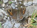 Lasiommata maera (Braunauge, Weibchen) / CH UR Brunnital 1240 m, 15. 07. 2013