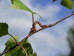 Erannis defoliaria (Grosser Frostspanner, Zuchtraupe an Birke) / CH BE Hasliberg 1050 m, 02. 06. 2015