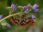 Argynnis adippe (Märzveilchenfalter, Männchen) / CH BE Hasliberg (Zuchtfalter), 03. 07. 2014