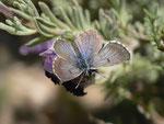 Pseudophilotes panoptes (Weibchen) / E Andalusien, Almeria, Sierra de los Filabres, Ermita de Monteagud 1070 m, 03. 05. 2012