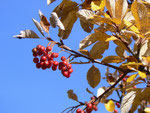 Sorbus aria (Echter Mehlbeerbaum) / Rosaceae