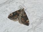 Chloroclysta citrata (Buschahlden-Blattspanner) / CH BE Hasliberg 1050 m, 06. 08. 2013