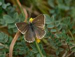 Polyommatus coridon (Silbergrüner Bläuling, Weibchen nach der Eiablage) / CH BE Haliberg 1040 m, 09. 07. 2017