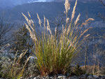 Calamagrostis varia (Buntes Reitgras) / Poaceae