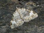 Coenotephria tophaceata (Grosser Felsen-Bindenspanner) / CH VS Saastal Saas-Fee nach Saas-Almagell, 12. 08. 2011