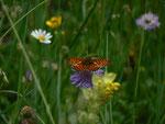 Boloria titania cypris (Natterwurz-Perlmuttfalter) / CH BE Hasliberg 1240 m, 17. 06. 2014