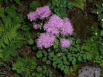 Thalictrum aquilegifolium (Ackeleiblättrige Wiesenraute) / Ranunculaceae
