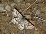 Ematurga atomaria (Heidespanner, Weibchen) / CH VS Albinen Tschärmilonga Bradele 1914 m, 08. 06. 2017