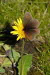 Erebia eriphyle (Ähnlicher Mohrenfalter) / CH BE Gsteig, Reusch, Oldenalp 1810 m,  14. 08. 2019