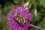 Chersotis alpestris oder Chersotis oreina / CH VS Valsroey 1860 m, 26. 07. 2006