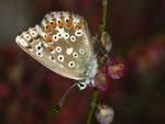 Polyommatus bellargus (Himmelblauer Bläuling, Weibchen) / CH VS Mattmark-Stausee 2190 m, 09. 08. 2010
