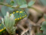 Polyommatus bellargus (Himmelblauer Bläuling) / CH BE Hasliberg 1180 m, 18. 04. 2015