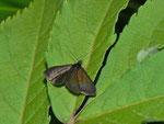 Pyrausta coracinalis / CH BE Hasliberg 1090 m, 09. 07. 2013