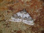 Entephria infidaria (Winkelzahl-Gebirgs-Blattspanner) / CH VS Grengiols Heiligkreuz, Saflischbachgebiet 1800 m, 06. 08. 2020