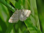 Perizoma albulata (Klappertopf-Kapselspanner) / CH UR Brunnital 1300 m, 15. 07. 2012
