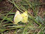 Colias alfacariensis (Hufeisenklee-Gelbling) / CH VS Gantertal 1315 m, 18. 05. 2007