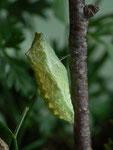 Papilio machaon (Schwalbenschwanz, Puppe) / CH BE Hasliberg 1150 m, 15. 07. 2015
