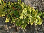 Asplenium ruta-muraria (Mauerraute) Aspleniaceae