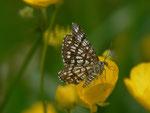 Chiasmia clathrata (Klee-Gitterspanner) / CH OW Giswil Usser Allmend 477 m, 20. 05. 2014