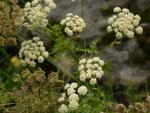 Peucedanum cervaria (Hirschwurz-Haarstrang) / APIACEAE