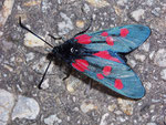 Zygaena lonicerae (Grosses Fünffleck-Widderchen) / CH VS Laggintal 1550 m, 20. 07. 2009
