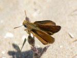 Thymelicus sylvestris (Braunkolbiger Braundickkopffalter) / E Provinz Alicante, Costa Blanca, Sta. Pola, El Pinet, Parque Natural de las Salinas de Sta. Pola, Meereshöhe, 21. 04. 2012