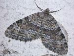 Entephria caesiata (Veränderlicher Gebirgs-Blattspanner) / CH VS Nufenenpass 1925 , 06. 08. 2008