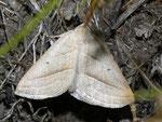 Petrophora chlorosata (Moorwald-Adlerfarnspanner) / CH TI Maggiatal, 05. 05. 2011