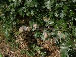 Aporia crataegi (Baumweissling) / CH BE Hasliberg 1050 m, 14. 09. 2014 an Crataegus monogyna