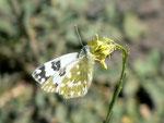 Pontia daplidice (Resedafalter, Weibchen) / Spanien Kan. Inseln, Gran Canaria, Barranco de Tasartico, 200 m