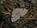 Colostygia pectinataria (Prachtgrüner Bindenspanner) / CH BE Hasliberg 1280 m, 20. 06. 2014