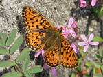 Boloria euphrosyne (Veilchen-Perlmuttfalter) / CH BE Hasliberg 1100 m, 25. 04. 2014