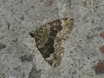 Colostygia olivata (Olivgrüner Bergwald-Blattspanner) / CH BE Hasliberg 1240 m, 23. 07. 2014