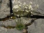 Arabis serpillifolia (Quendel-Kresse) / Brassicaceae