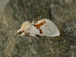 Leucodonta bicoloria (Weisser Zahnspinner) / CH BE Hasliberg 1050 m, 07. 05. 2018